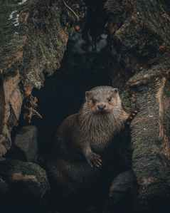 An otter peers out from a small cave.
